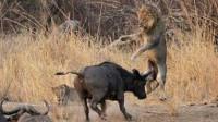 狮子追杀野牛,搏斗场面激烈, 看到结果意外了