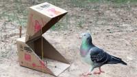 了不起的孩子!用一个大纸箱中自制捕鸟器,来一个捉一个!