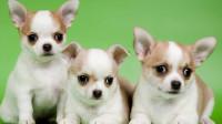 十二星座最适合养哪种狗狗?我的是吉娃娃,你的呢