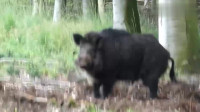 饿了一天的野猪,正在刨坑找吃的
