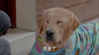 神犬小七2:美女不仅误会了狗狗,还责怪它,让它好委屈