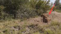 狮子蹲守在野猪洞口,突然差点被吓个半死,镜头拍下全过程!