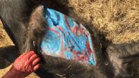 男子野外捕获一头野猪,不料剖开肚子后,立刻扔下刀就走
