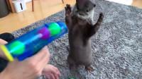 主人拿起玩具枪喊不许动,小水獭瞬间举手投降,镜头记录搞笑瞬间