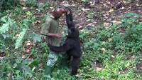 """饲养员去看猩猩,不料去了之后就""""后悔""""了,镜头记录下意外画面"""