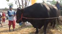 一头牛被送往屠宰场,不料下车时牛儿发难,镜头记录下全过程