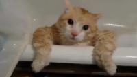 橘猫吃的太胖, 连浴缸的跳不出来, 主人笑抽了