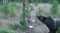 熊想吃电网上的鹿,被电了2次后。接下来的做法让人不淡定