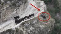 一群黑牛在山崖上狂奔,不料没刹住车,直接摔下山崖!