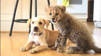 小猎豹被抛弃后被狗狗保护,后来成为狗狗的靠山,镜头拍下有爱一幕