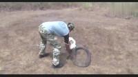 三米多长的过山峰眼镜王蛇,男子竟几秒钟就将其制服,太牛了