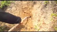 湖南男子在洞里挖到一条眼镜王蛇,一出来就追着人咬,太凶猛了