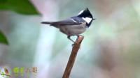 煤山雀的叫声,一种栖息于针叶林的小型鸣禽,又名贝子鸟