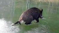 野猪被困在冰面上,接下来发生一幕,忍住别笑