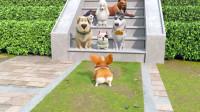 短腿小柯基:做一只理智的狗很重要,不能让自己吃亏!