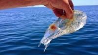 """海洋世界中真实存在的""""透明""""鱼,要不是镜头拍下,你敢相信"""