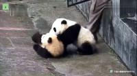 """大熊猫激烈打斗,幸亏奶妈及时出来""""制止"""