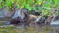 饥饿的水獭,捕捉水龟