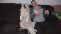金毛跟主人一同坐在沙发上,狗狗竟然学主人的动作,真是没谁了