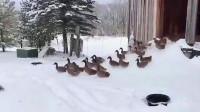 一群鸭子跑出门,结果被冻得立马跑回了屋里,镜头记录搞笑一幕