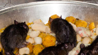 伤害老鼠要赔偿黄金?不仅和老鼠生活在一起,每天还有上千人供奉?
