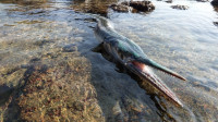 小渔翁赶海运气爆棚,在水坑里发现一条核鱼,有一米多长七八斤重