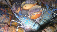夜里大潮过后海边大货成堆,赶海小伙喜提一对大龙虾和三只椰子螺!