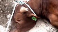 怀孕母牛三步一跪求生,网友众筹将它放生,被救后的举动感动众人