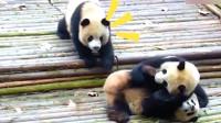 赶紧起床吧你这只懒惰的小熊猫,熊猫:是谁这么胆大打扰我?