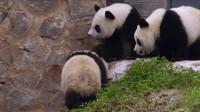 可爱的熊猫结伴玩耍!