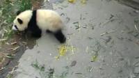 熊猫本想搭个便车,没想到自己太重了,奶爸拉不动