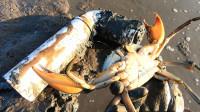 半个月没收的水管陷阱,引来螃蟹中的巨无霸,看这蟹钳就过瘾