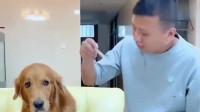 金毛上班帮主人干活,还担负着照顾着家里的小狗,好懂事啊
