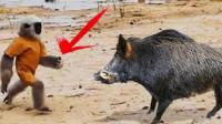 非洲人训练猴子抓野猪,下一秒憋住别笑,网友:简直神操作