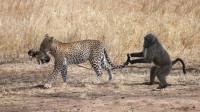 为抓狒狒吃,花豹在树枝上飞跃,母狒狒为救孩子,和花豹奋力一搏