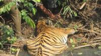 男子发现老虎在河边喝水,好久都没起来,走近后不淡定了
