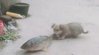 """鱼的屁股哪能随便咬,小狗是摊上事了,大鱼一记""""神龙摆尾""""够它受的!"""