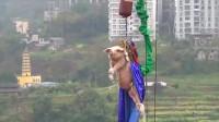 猪在失重下有什么反应?重庆景区挑战用猪蹦极,猪:我太难了!