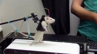 将小白鼠绑在跑步机上,原以为是好玩,看完我反手就是一个赞!