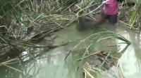 芦苇边发现一条超级大鱼,乡下男子刚抄进网内就被它给攻击了