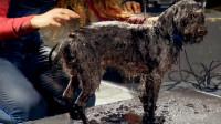 狗狗洗完澡能甩掉多少水?慢镜头观察甩水瞬间,技能太硬核了