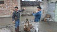 小莫和老表打赌买野山羊,2000块买了100斤,结果赚大了