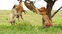 鬣狗欺负母狮子,结果被雄狮疯狂追杀,鬣狗惨被一口咬死!