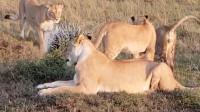 几头狮子在草原遇到一只豪猪,豪猪走走停停,不怕咬