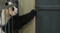 要不是亲眼所见,我都不知道大熊猫的智商这么高