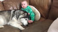 哈士奇超喜欢小宝宝,趴在旁边任由宝宝玩弄