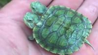 罕见双头乌龟,你想养吗