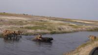 野牛被狮子咬住屁股,突然狮子感觉背后一寒,回头一看撒腿就跑!