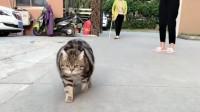 被奶奶带了一个月的虎斑猫,铲屎官叫它过来的时候,差点走不动路了!