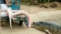 鳄鱼太狠了,连自己老婆都吃